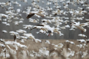 Snow Storm: Hunting Snow Geese
